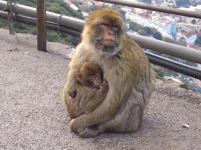 bertuccia-scimmia-gibilterra