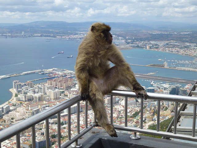scimmia-gibilterra-bertucce