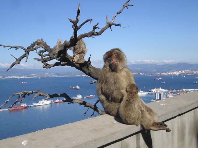 scimmie-gibilterra